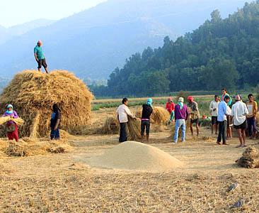 धान भित्र्याउने बेला (फोटो फिचर)