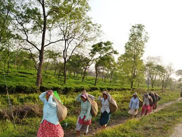बगानबाट चियाको कपसम्म आइपुग्दा (फोटो फिचर)