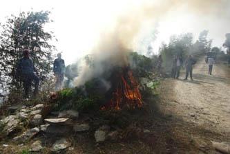 धनकुटाः ८०० रोपनीमा लगाइएको गाजा प्रहरीद्वारा नष्ट