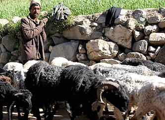 बाजुरा: महामारीले लाखौँका भेडाबाख्रा मर्दै